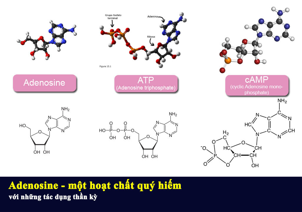 Adenosine một hoạt chất quý hiếm